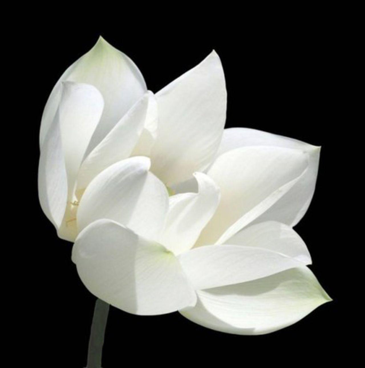 Цветок белый фото